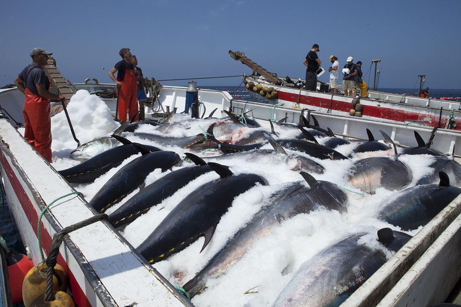 congelando el atún rojo en una almadraba