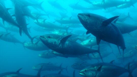 banco de atun rojo salvaje en el oceano